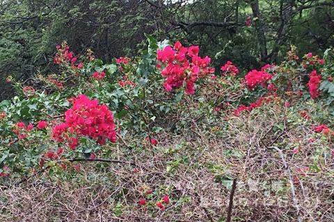 2月のココ・クレーター植物園、ブーゲンビリア
