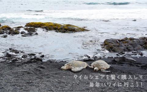 プナルウ黒砂海岸・ウミガメ
